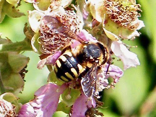"""""""Anthidie manicatum""""sur fleur de ronce - 12.06."""