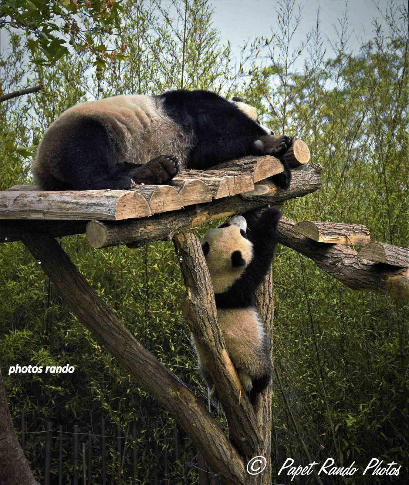 Nos Pandas, photos de  2020 une année de M.  complement COVID