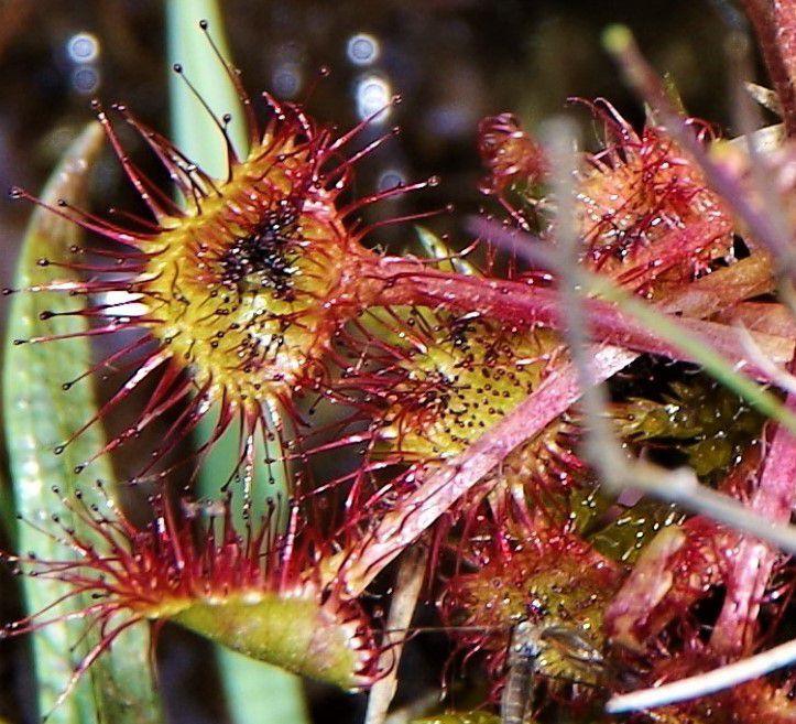 Drosera rotondifolia, drosera à feuilles rondes