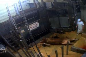 Le calvaire des animaux destinés à la boucherie/ Filière bio ou pas, nouvelle preuve de barbarie dans nos abattoirs et fermeture (provisoire) à Boischaut (Indre)