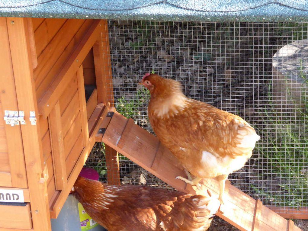 L' effet thérapeutique des poules(à plumes)