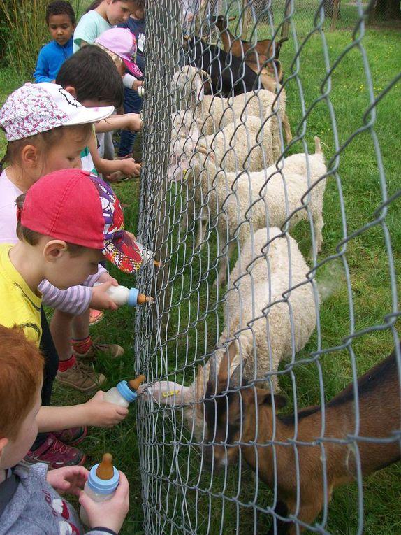 La traite des chèvres et le biberon aux chevreaux