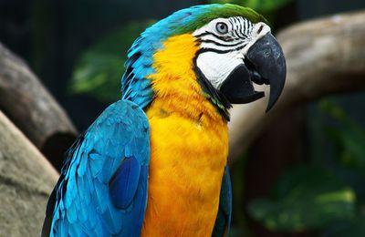 Ara ararauna - Psittaciformes - Oiseau - Wallpaper - Free