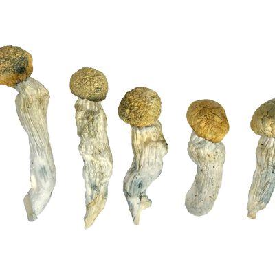 Buy Penis Envy Magic Mushrooms