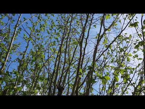 Le noisetier, le soleil, le vent et les oiseaux