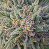 BUY QUALITY MARIJUANA AND CANNABIS OIL ONLINE WITHOUT PRESCRIPTION