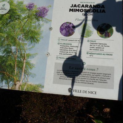 Jacaranda mimosifolia Arbre aux huitres . Bois d'huître . Flamboyant bleu .