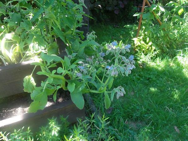 BOURRACHE : la plante qui rend heureux