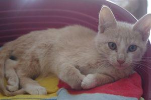 Moby, chaton mâle crème, à l'adoption -> adopté