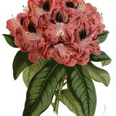 Rhododendron - Wikipédia