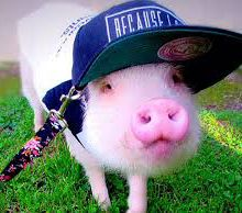 Les animaux de la ferme: Cochonet.