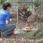Intern with big cats at Big Cat Rescue
