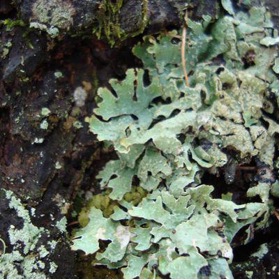 Le monde des Lichens