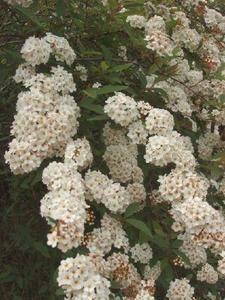 Le buisson d'aubépine