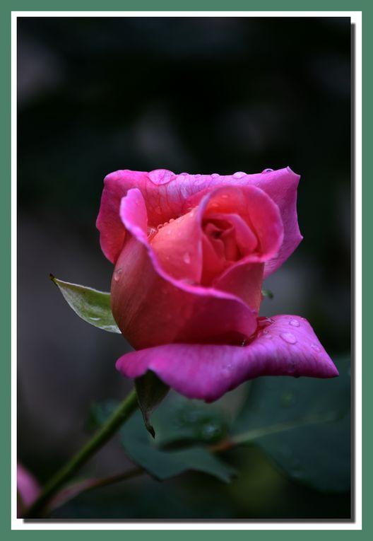 les roses sous la pluie