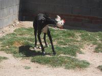 video  de Carbello  un gentil galgo à adopter à l'association sos chiens galgos