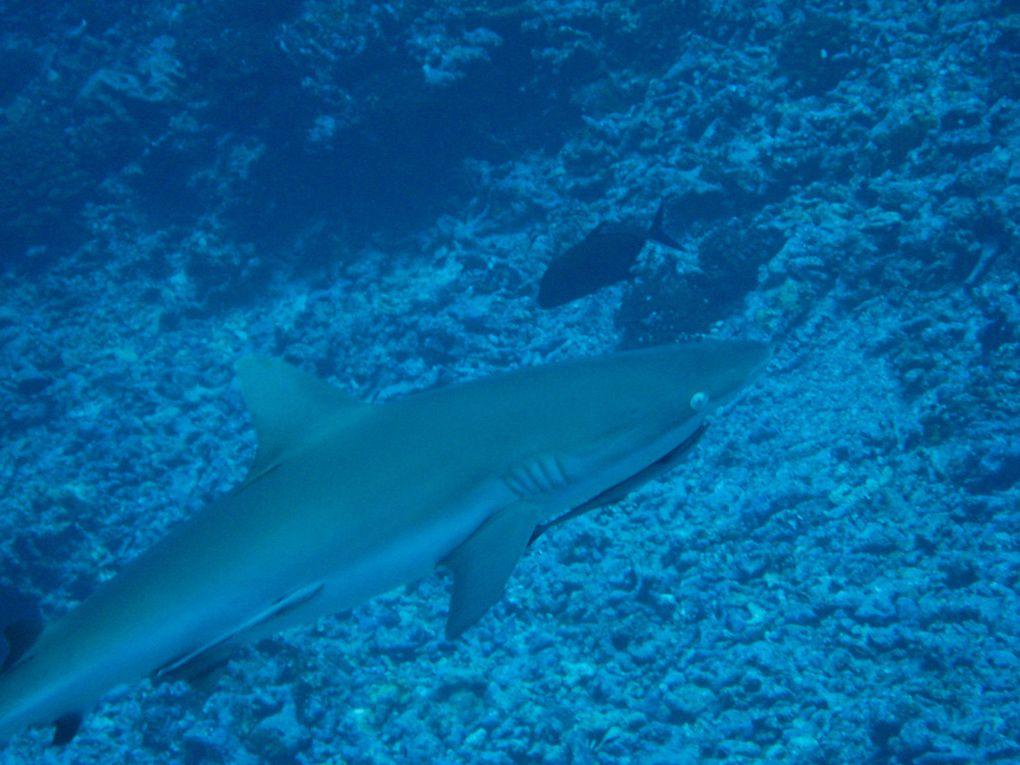 des Galapagos au Pacifique, nos modestes photos sous-marines. Nous allons devoir investir dans un meilleur appareil! Le pus beau corail aura été aux Fidji, les requins aux Galapagos et aux Touamotu, les raies aux San Blass et en Nouvelle Caledonie,