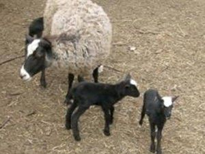 Linux et Loustik, les 2 agneaux sauvés par Karine et Jade