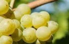 #Seyval Blanc Producers Michigan Vineyards