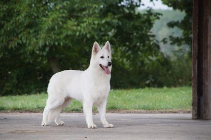 Isy best star (berger blanc suisse)