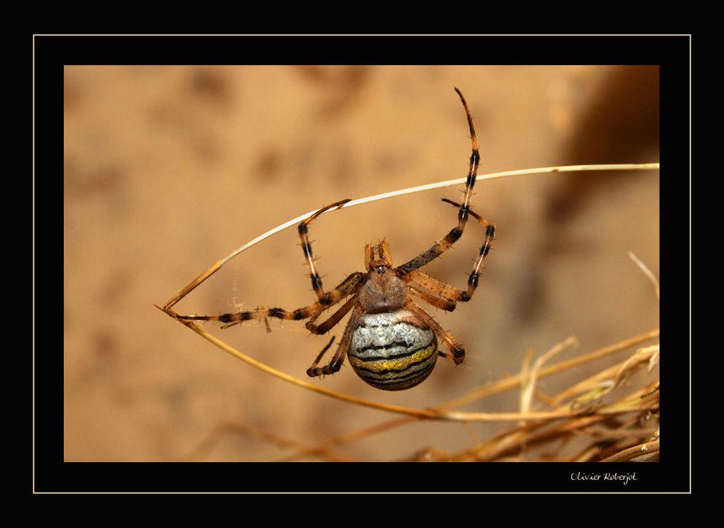 Quelques Photos d'arachnides...bon, ok, une araignée, c'est pas beau mais regardez celle là: Epeire Fasciée
