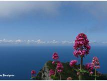 """Pour maman """"nature"""", offrez-lui des fleurs de l'île de Capri..."""