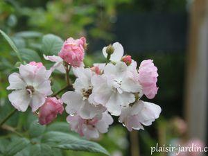 Le rosier 'Belle des Fagnes'