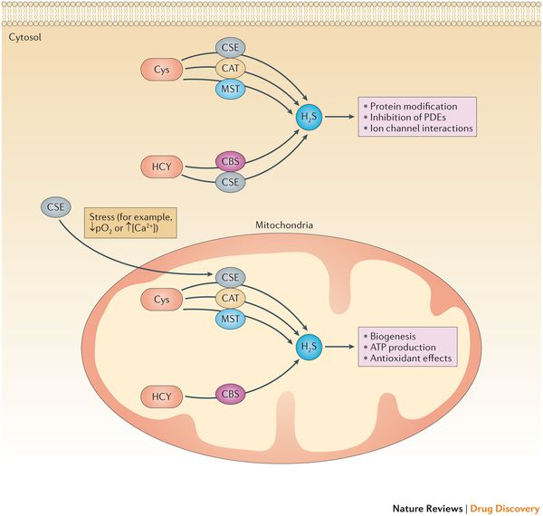 Cytosolic and mitochondrial production and functions of H2S.