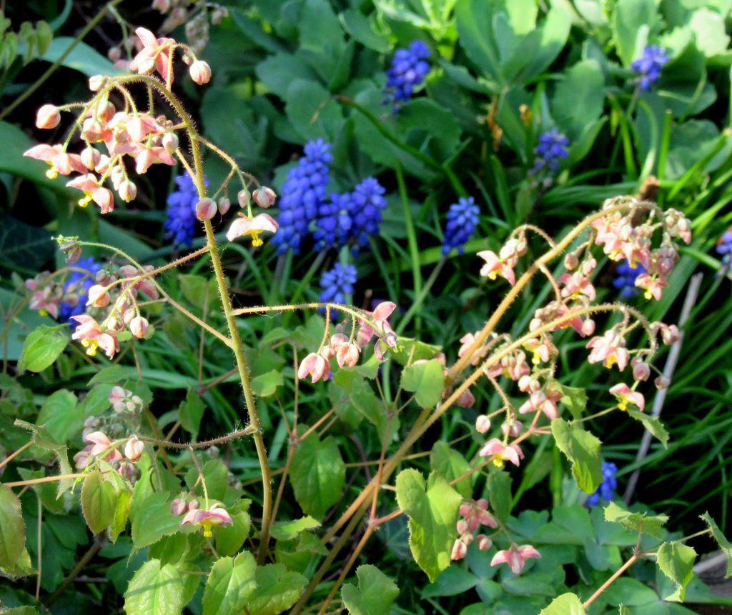 Muscari bleu profond et une touffe d'Epimedium rose doux