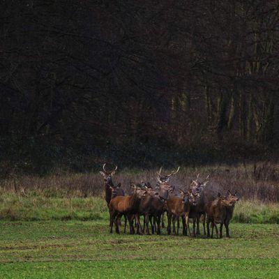 Harde de biches et daguets en lisière de forêt de Fontainebleau