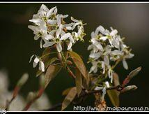 Fleurs d'amélanchier ...