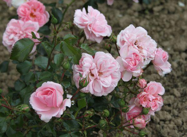 Le rosier 'Garden & Home'