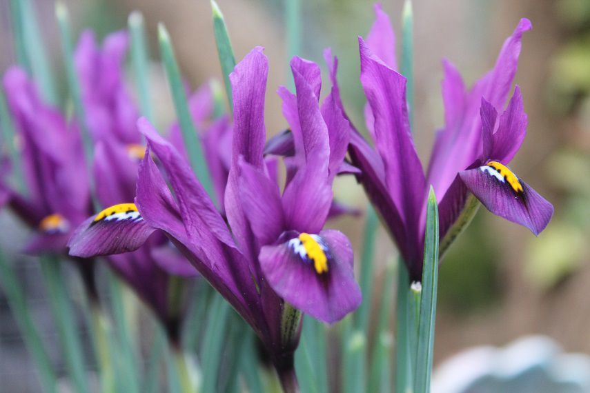 Iris reticulé Dijt