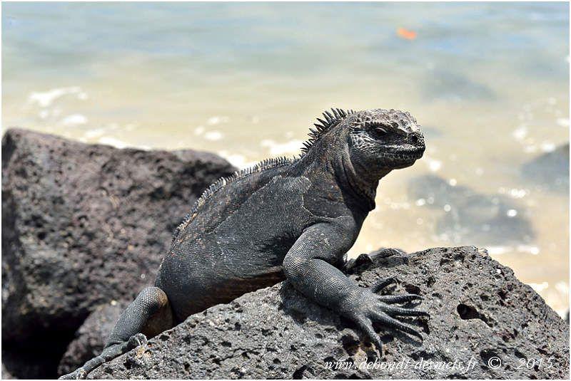 Iguanes marins sur les rochers de lave noir