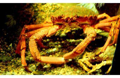 faune : malacostracés : décapodes (crabes, crevettes, homards ...)