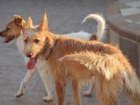 "Adoptez chez sos chiens galgos ""Rubia "" petite Podenca Barbuda de 1 an environ"