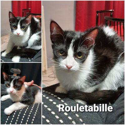 Rouletabille, chat mâle noir et blanc de 2020, à l'adoption
