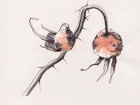 Rosa rugosa - Encre noire et aquarelle