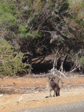 de la baie des phoques, au little sahara, notre soirée nuit à la ferme retouvés les moutons et kangourous, le parc national flinders chase avec les remarkables, Emu bay et ses pélicans...nous avons passés 2 jours inoubliables avec soleil en plus