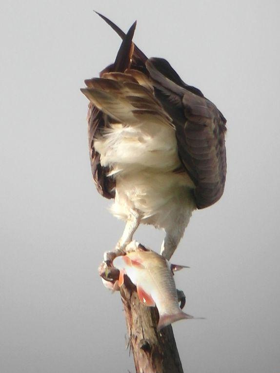 La saison 2012 de l'aire du grand bois, perturbée avec le squatt de l'aire par une famille de Chouettes hulottes...