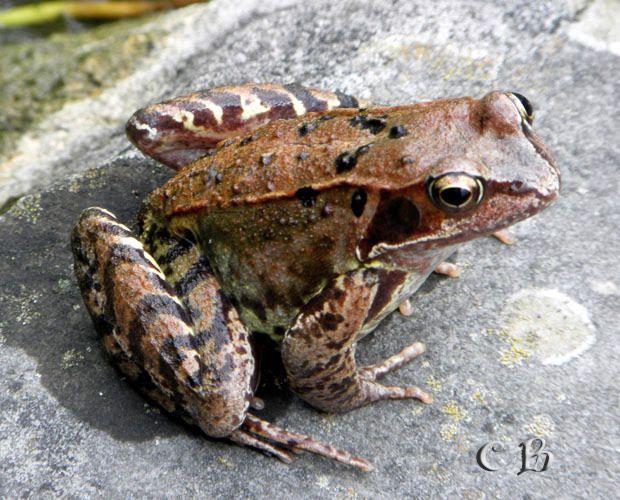 La grenouille agile - photo Chris B. Franche-Comté.