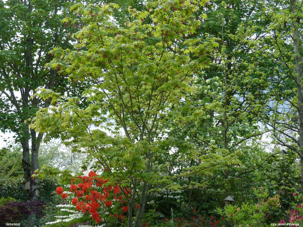 Erable du Japon 'Osakazuki' - Acer palmatum 'Osakazuki'