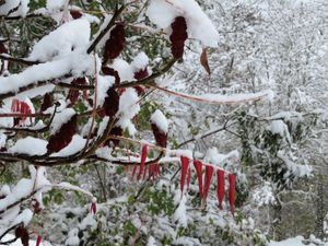 Les branches ploient sous la neige