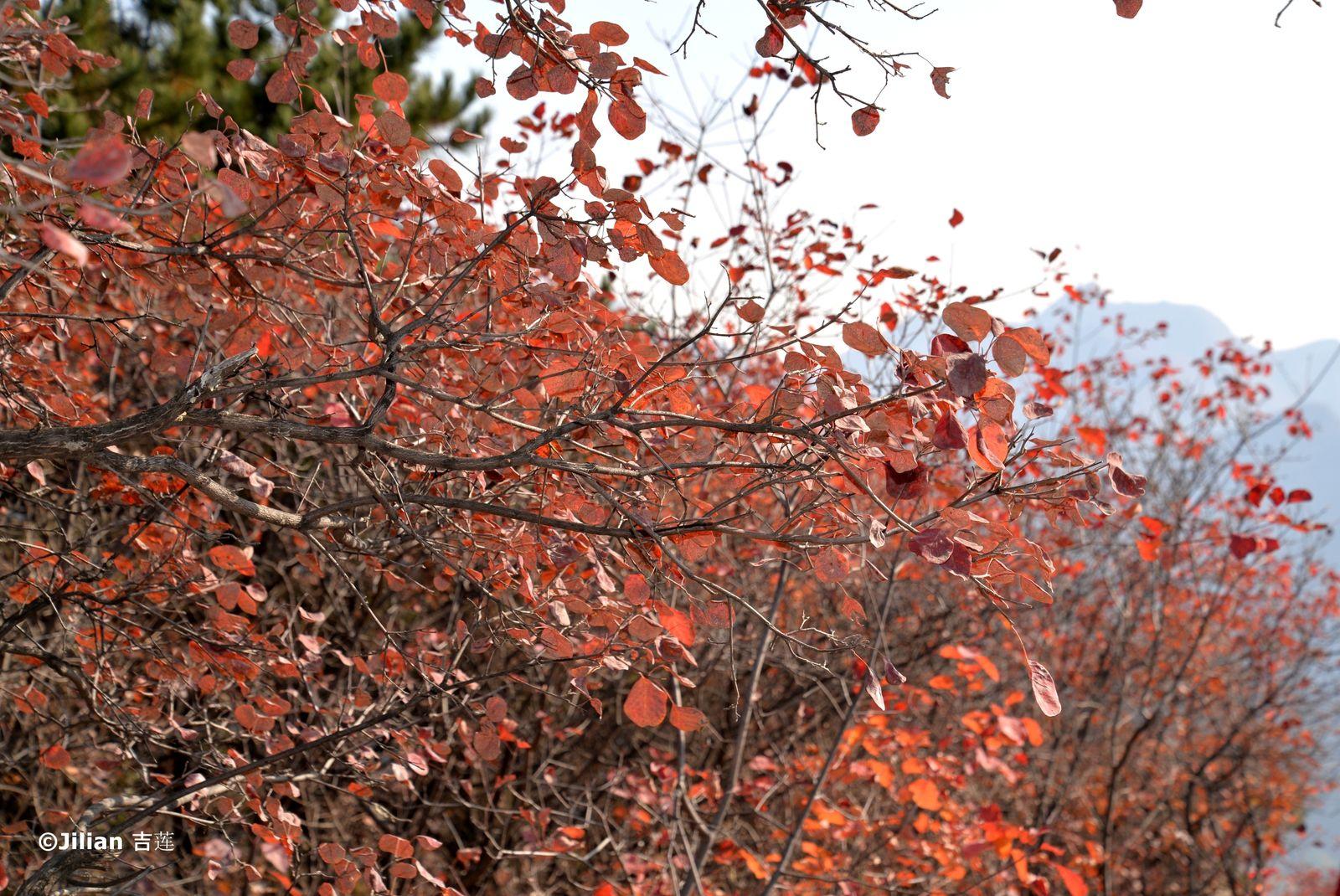 L'automne multicolore à Zhoukoudian – 周口店五彩的秋天