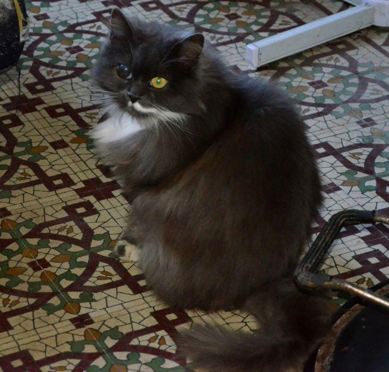 Elle est adoptée !!!!  KAIA - chatte bleu et blanc à poil long née en 2009 - stérilisée