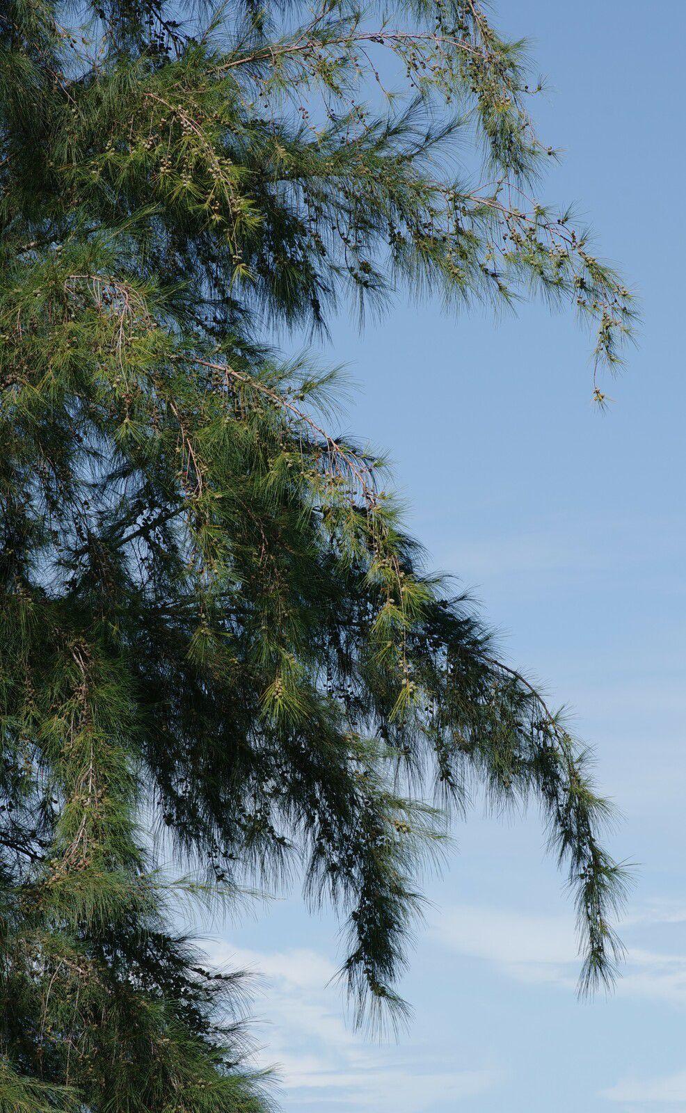 Casuarina equisetifolia subsp. equisetifolia (filao)