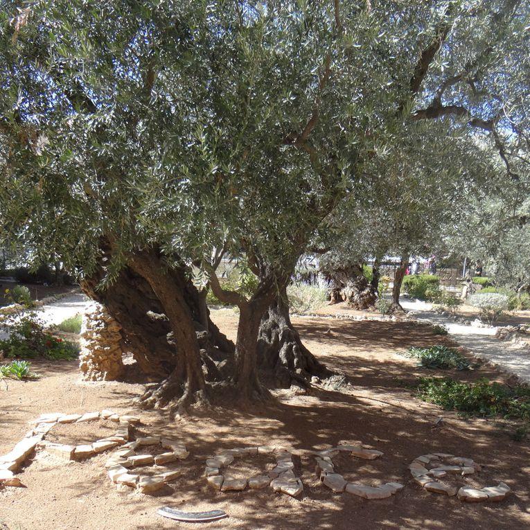 Jardin des Oliviers. Jérusalem (photos NB Israël oct. 2018)