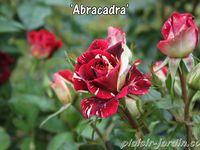 Journées de la rose à Chaalis 2014  1/2