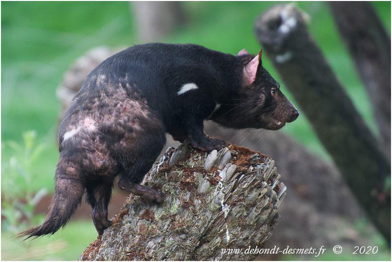 Contrairement au diable adulte, le jeune diable de Tasmanie sait parfaitement grimper aux arbres. Il utilise ses larges pattes arrières et ainsi ne peut pas glisser.