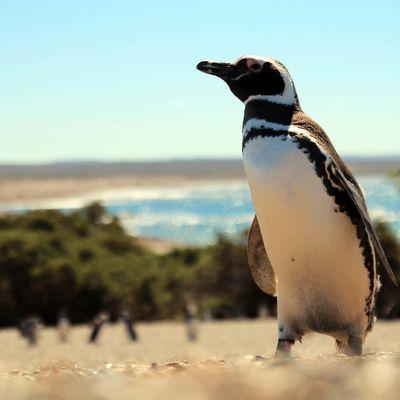 Les P'ti Pingouins de Punta Tombo